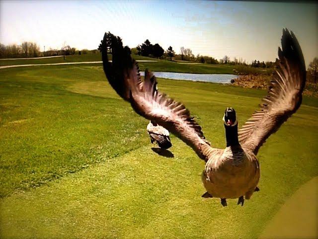Птицы атакуют квадрокоптер